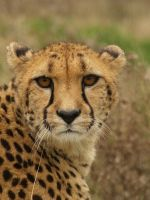Adult Cheetah by suphoto