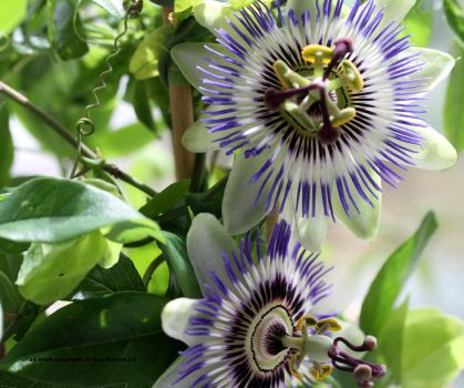 two passion flowers by GeaAusten