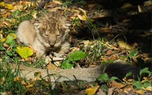 Lion Cub 07-98 by lomoboy