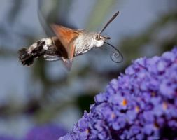 Hummingbird Hawk-moth by carlahoon