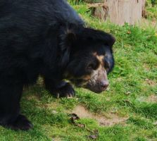 Andean Bear by PhotoHunny