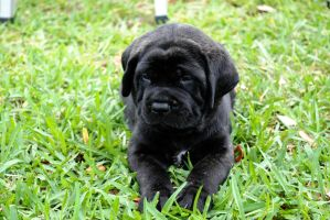 Mastiff! by PhotoArabesque