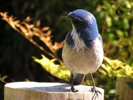 Scrub Jay by pisthelimit