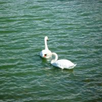 swans by st2wok
