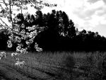 Plum and Orchard in Spring II by leccah