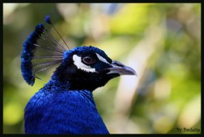 Peacock Face by shutterbugmom