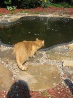 cat stalking fish by CotyStock