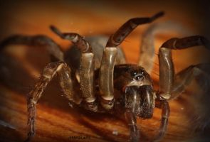 Wolf Spider III by Moosplauze