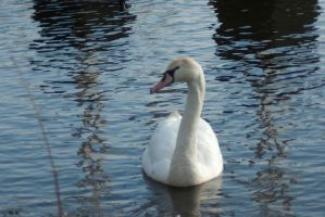 Swans and water birds 6 by steppelandstock