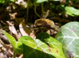 Bombylius sp. (2) by DaOldHorse