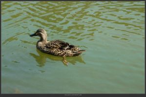 Animal Stock - Duck 14 by shelldevil