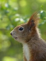 Squirrel 198 by Cundrie-la-Surziere