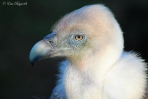 Griffon Vulture... by EricReynolds
