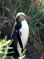 Yellow Eyed Penguin 02 by es32