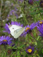 Small White and Asters by CASPER1830