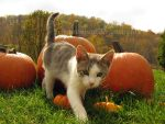 Pumpkin Kitty by TigressRampant