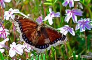 Mourning Cloak Butterfly by Momenti-Photo