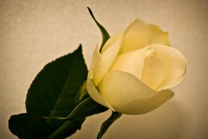 The Rose by Markuslajer