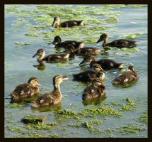 Ducklings by carriephlyons
