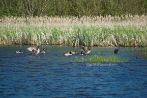 Canada Geese III by sillverrfoxx