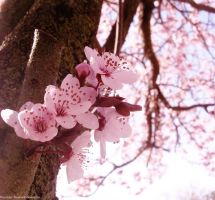 blossoms in spring by ashkyler