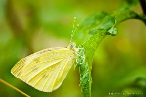 Yellow butterfly on a leaf by luxuss