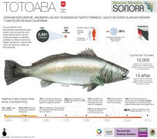 Totoaba Fish critically endangered by memuco