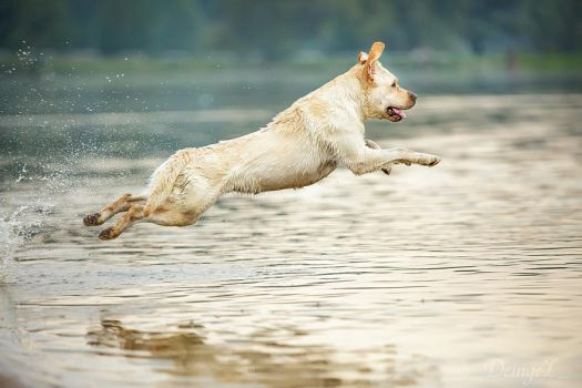 Labs loves to fly by DeingeL-Dog-Stock