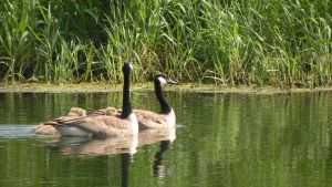 goose 12 by DougFromFinance