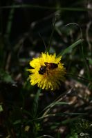 The bee and the dandelion by Philatx