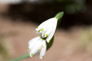 White Flower by IDR-DoMiNo