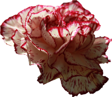 Carnation PNG 01 by Thy-Darkest-Hour