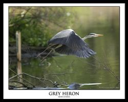 Grey Heron by THEDOC4