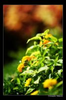 Yellow blooms by Calzinger