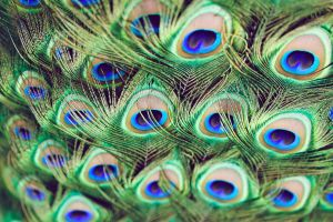 Peacock Greens by FDLphoto
