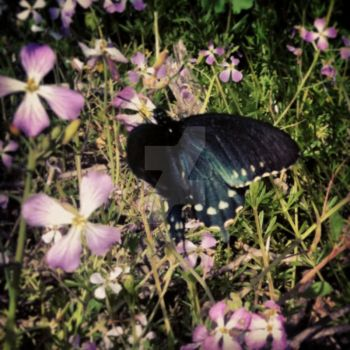 Black Swallowtail by AppleHunter