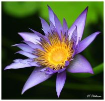 Purple Water Lily by CTP