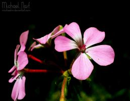 Pink Flowers IV by MichaelNN