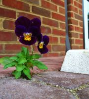 The Lone Pansy by SpiderMilkshake
