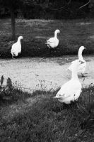 Gooses in B/W by NorthernAnimator