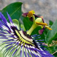 Passion flower by haakenson-stock