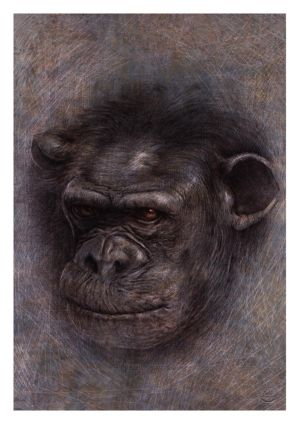 Chimpanzee Portrait by Eacone01