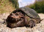 Crocodile Snapping Turtle by Shasel