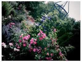 I promised you a rose garden by ksra