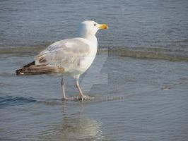Seagull 1 by Charlief43