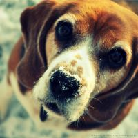 Winter beagle by Rontarija