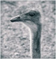 Ostrich by Jack-Nobre
