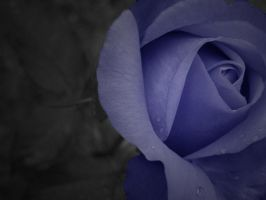 Blue Rose by nerapantera
