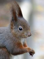 Squirrel 202 by Cundrie-la-Surziere