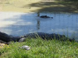Alligators by piercedpinup